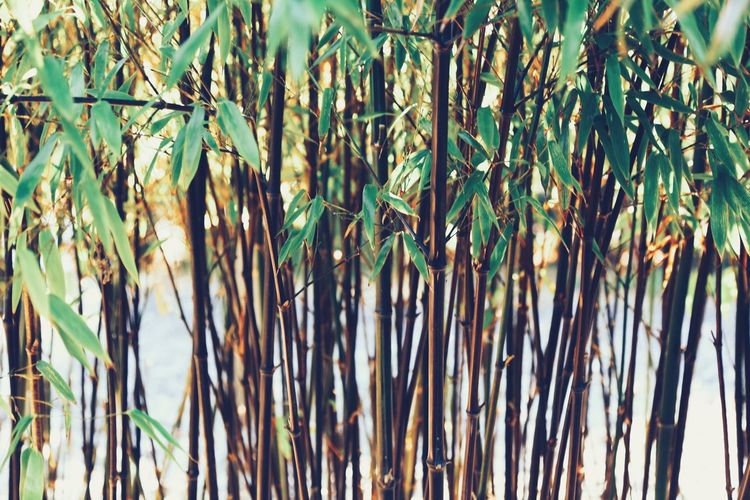 Growth Nature Plant Cereal Plant No People Agriculture Backgrounds Day Outdoors Structures & Lines Details Of Nature Bamboo - Plant Bamboo Forest Bamboo Freshness Branch Full Frame Green Color Fragile Background Beauty In Nature Plant Growth Wall Art Bushes And Trees