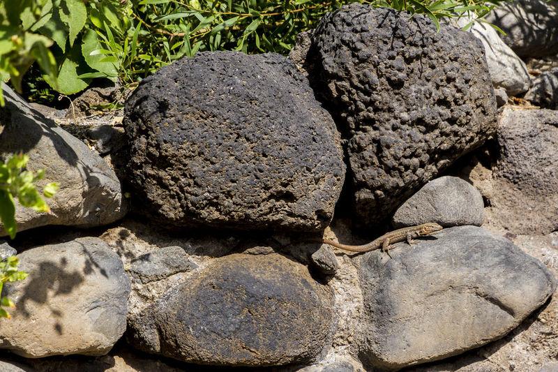 Animal In Captivity Animal Themes Black Stones Day Lizzard Outdoors Rocks Wall