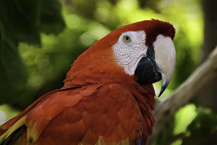 Parrot Portrait: Scarlet Macaw (Ara macao) Bird Photography Animal Eye Ara Macao Beak Bird Bird Head Bird Portait Close-up Nature No People Outdoors Parrot Perching Pet Red Parrot Tropical Bird Tropical Birds Vibrant Color