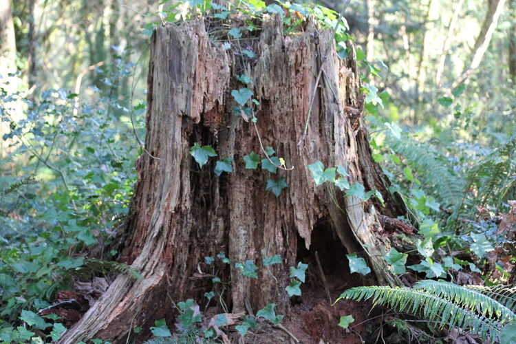 Close-up Day Focus On Foreground Forest Green Color Growth Nature No People Outdoors Plant Tree Tree Ring Tree Stump Tree Trunk Wood - Material WoodLand