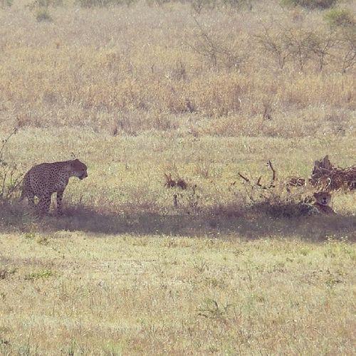 Tanagire Tanzania Africa Safari cheeta leopard
