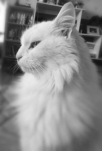 Hedwige Cat