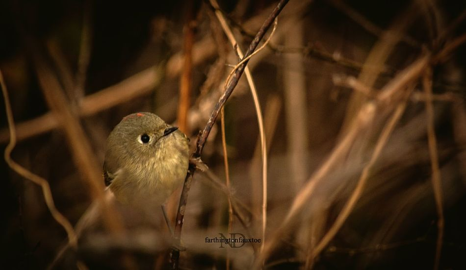 Ruby-Crowned Kinglet. Animal Themes Animals In The Wild One Animal No People Nature Animal Wildlife Bird Close-up Day Outdoors Eye4photography  Kentucky  EyeEm Best Shots Nature Photography Beauty In Nature Branch From My Point Of View Check This Out Birds_collection Birds🐦⛅ Birds Of EyeEm  Birds Parks Park