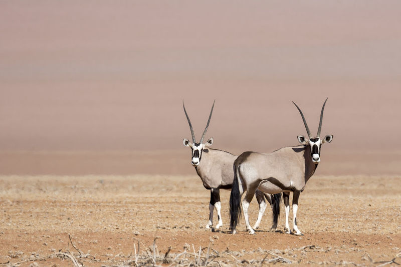 Oryx standing on field against sky