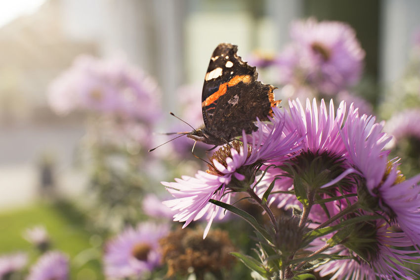 Aster in the back light with an admiral butterfly Admiral Autumn Back Light Nature Pink Plant Aster Autumn Asters Autumn Flower Autumn Shrub Blossom Bokeh Butterfly Fauna Flower Garden Insect Insect Eyes Outdoor Pollinate Short Depth Of Field Shrub Sunshine Vanessa Atalanta Wing Scales