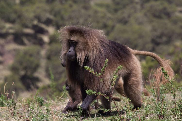 Monkey walking on grassy field