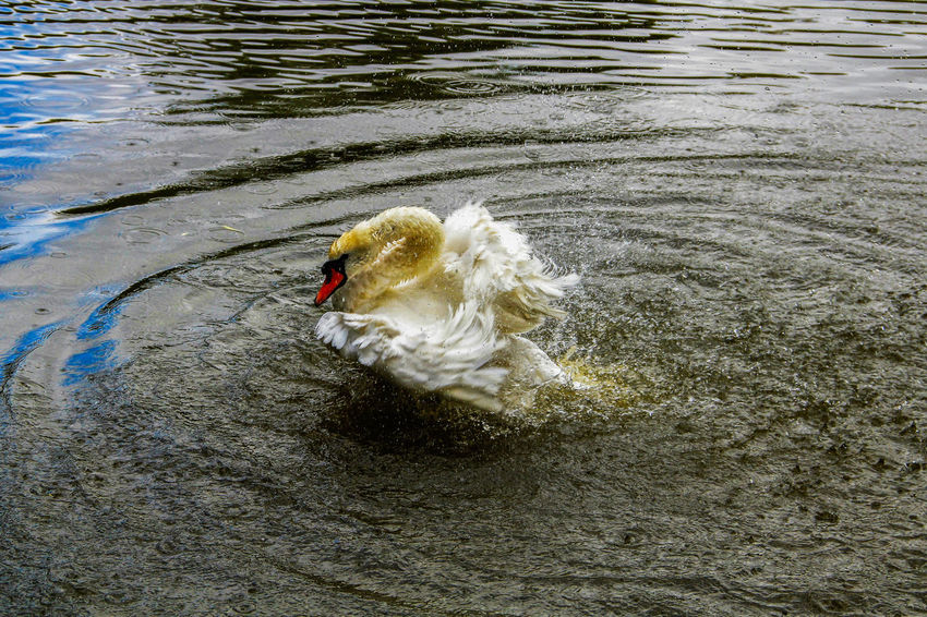 Animal Avian Beak Beauty In Nature Bird Close-up Day Emotional Photography Emotions Floating On Water Nature Nature_collection No People Outdoors Rippled Rippled Water Spatter Swan Wash Water White Color