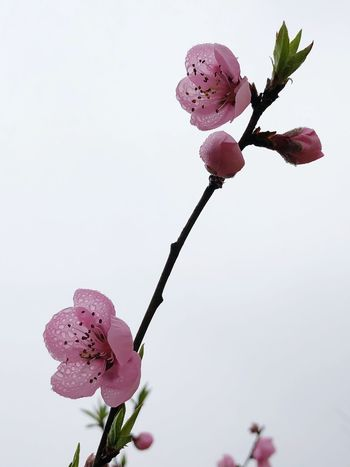IPhoneography Blossom Flower Pink Color Fragility Petal Freshness Nature Beauty In Nature