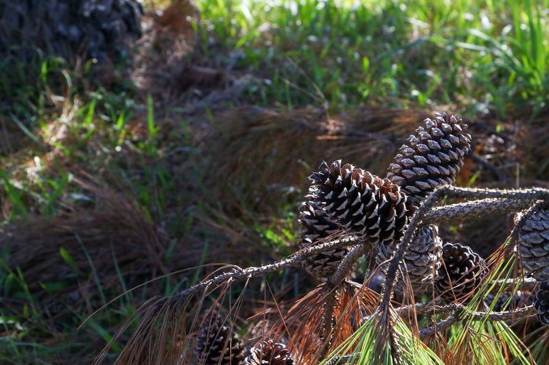 Pinus Plant