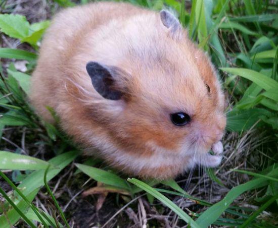 Nikki Hamster Hamster My Hamster Syrian Hamster  Cute Cute Pets sunshine lawn time for Nikki :-)