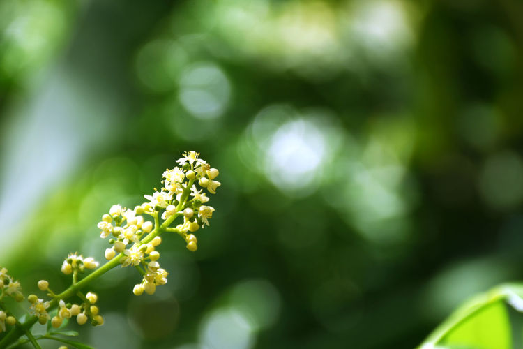 Azadirachta indica on a blurred background, neem flower on a blurred background