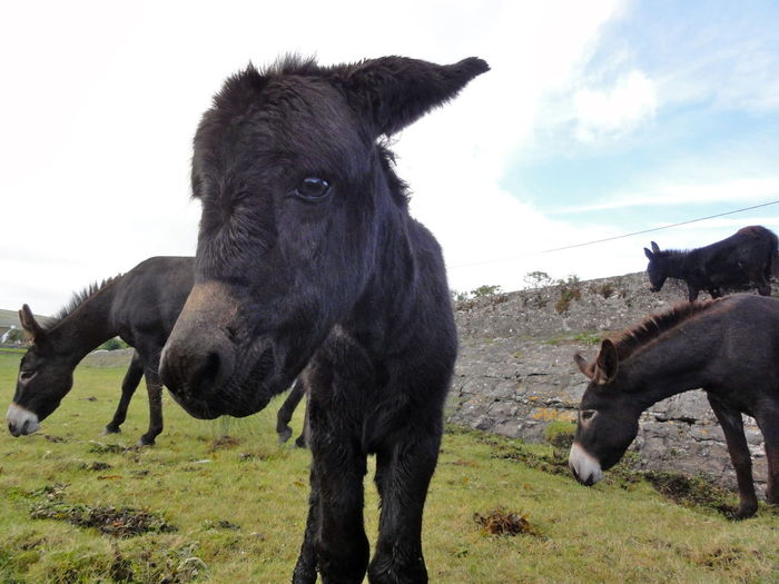 Animal Themes Baby Donkey Donkey Every Day Grassing Herbivorous Irelan Livestock Looking Into Camera Mammal No People Outdoors Peasture Pets Sad Look Togetherness Wondering Zoology