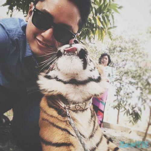 She loves me. Pet Tiger Savethetiger Savethetigers Savethewildlife Bigcat Bigcatdiary Wwf Peta Zoo Mandalay Myanmar Burma Igersmandalay Igersmyanmar Burmeseigers Tigercub Vscomyanmar Exploremyanmar Goldenland Wildlifeeveryday GalaxyGrand2 Zawth Yatanarpon Cat catlover