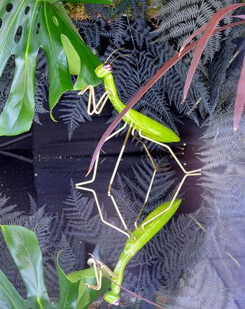 Grasshopper Animal Themes Close-up Beauty In Nature Modern Art ArtWork Reflection Mirrow Efect Green Color Green Heuschrecke Schmuck Schmuckstück Jewellery Jewellery Photoshoot Pet Portraits