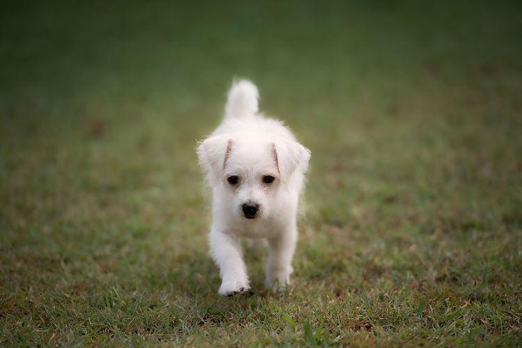 White Puppy Walking On Grassy Field