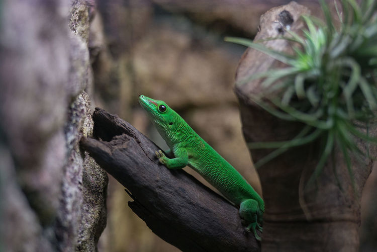 One Animal Animal Animal Themes Green Color Lizard Reptile Animal Wildlife Animals In The Wild Vertebrate Day Plant No People Nature Selective Focus Close-up Tree Outdoors Focus On Foreground Gecko Plant Part Animal Scale