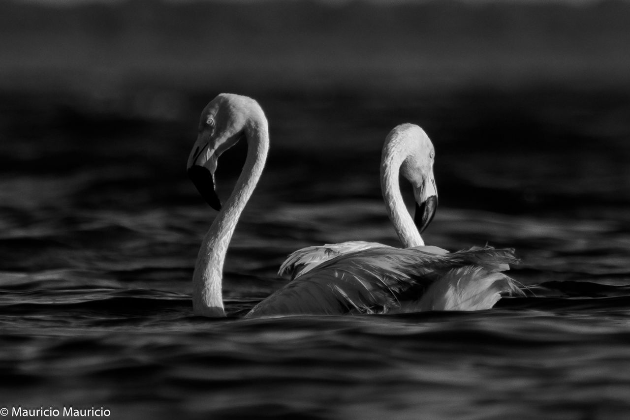 animals in the wild, animal themes, bird, lake, animal wildlife, one animal, no people, water, swimming, nature, day, beauty in nature, outdoors, close-up, swan