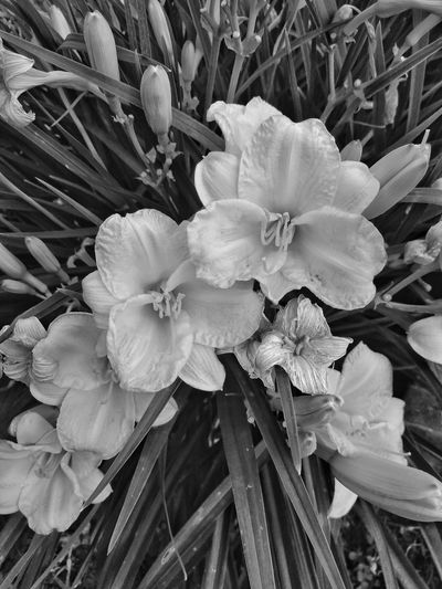black and white flowers Bnw Bnw_collection Michigan Pure Michigan Check This Out My Point Of View EyeEm My Unique Style Outdoor Photography EyeEm Outdoors EyeEm Bnw Flower Head Flowerporn EyeEm Flower EyeEm Flowers Collection Flowers,Plants & Garden Eyeem Flower Lover Bnw_captures Summer Eyeem Flowers Gallery Flower Head Flower Petal Stamen Blossom Close-up Plant Pistil Botany Focus