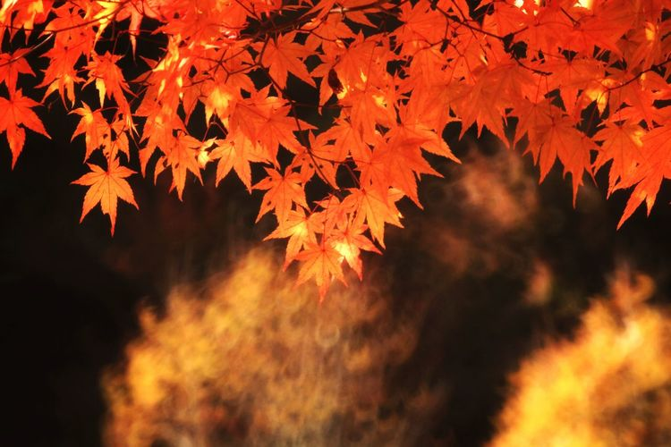 Beautyinnature  Beautifulnature Autumncolors South Korea Tree Maple Leaf Leaf Multi Colored Branch Autumn Red Forest Sunset Change Maple Autumn Collection Leaves Fallen Maple Tree Leaf Vein Plant Part