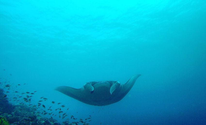 Manta Ray Swimming In Sea