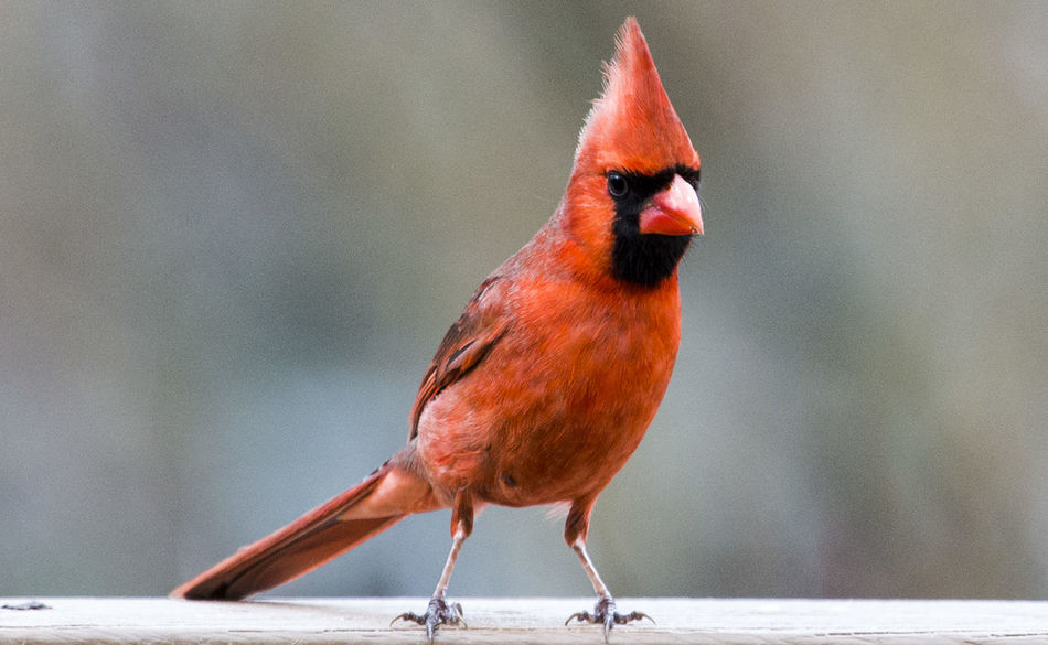 Red feathers Red Bird Animal Themes Animal Wildlife Animals In The Wild Bird Close-up Day Focus On Foreground Nature No People Northern Cardinal Male One Animal Outdoors Perching Plume Red Red Feather Songbird  Tuft