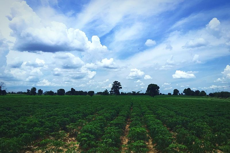 Cassava farm Cassava Cassava Farm Cassava Trees Farm Life Farmland Farmers Market Farmlandscape Green Farm Sky And Clouds Farm Land Farmcountry Landscape n Nature Photography Green Nature Naturelover