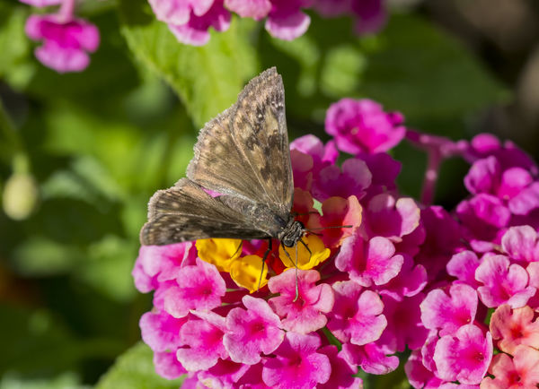Corn Borer moth on flower. Animal Themes Animal Wildlife Animals In The Wild Beauty In Nature Close-up Corn Borer Flower Flower Head Fragility Freshness Growth Insect Moth Moth On Flower Mothernature Nature No People One Animal Outdoors Perching Petal Pink Color Plant Pollination Zinnia