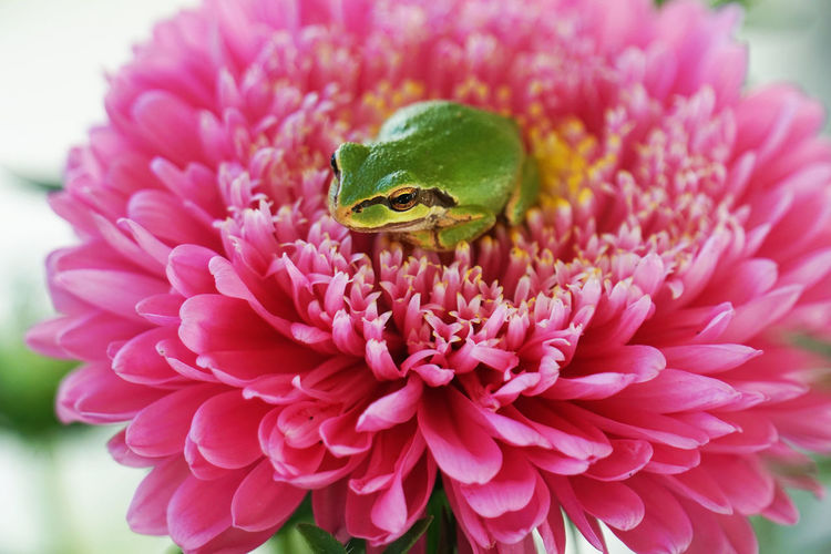 OtherMindMedia Animal Themes Animals In The Wild Beauty In Nature Close-up Day Flower Flower Head Fragility Freshness Frog On A Flower Green Color Growth Nature No People One Animal Outdoors Petal Pink Color Plant