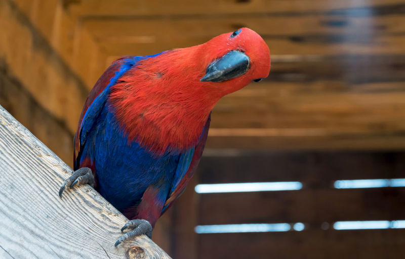 EyeEm Selects Bird Parrot One Animal Multi Colored Blue Close-up Perching Tropical Exotic Colorful Macaw Indoors  Day Animal Themes No People Nature Wildlife EyeEmNewHere