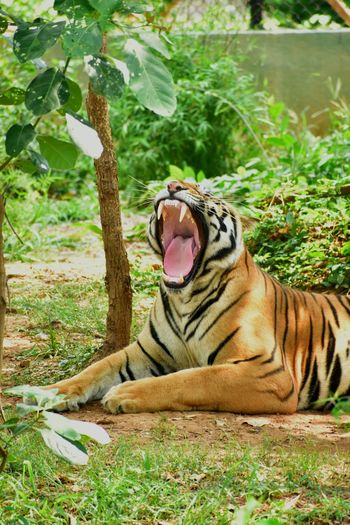 View of cat yawning