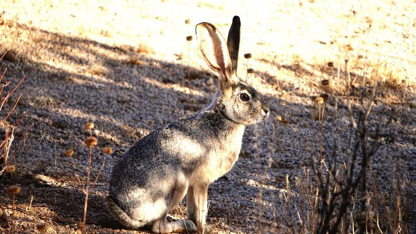 I'm listening 👂 👌😂 Mysterious Trip Photo Eyephotography EyeEm Best Shots Funny Silence Of Nature Joshua Tree California Alone Rabbit Mammal Nature Outdoors Day