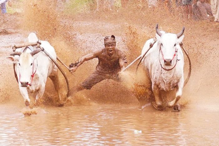 Bull Race Pacu Jawi Bull Race Wonderful Indonesia Traditional Culture Festival Season Batu Sangkar People Travel Photography Human Face Expressions Rider Sumatera Action! Muddy race Strength Pain Facial Expressions SonyA7s