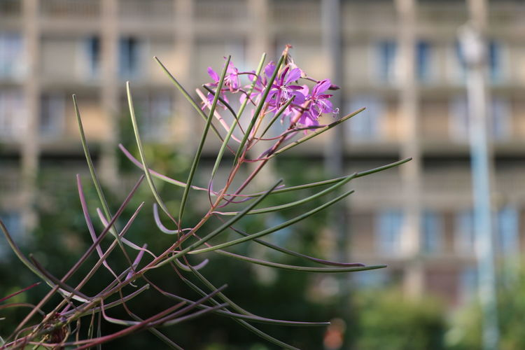Beauty In Nature Blossom City City Nature Close-up Contrast Day Flower Flower Head Focus On Foreground Growing In Bloom Nature No People Outdoors Park Hill Flats Petal Pink Color Sheffield Single Flower Springtime Wildflower