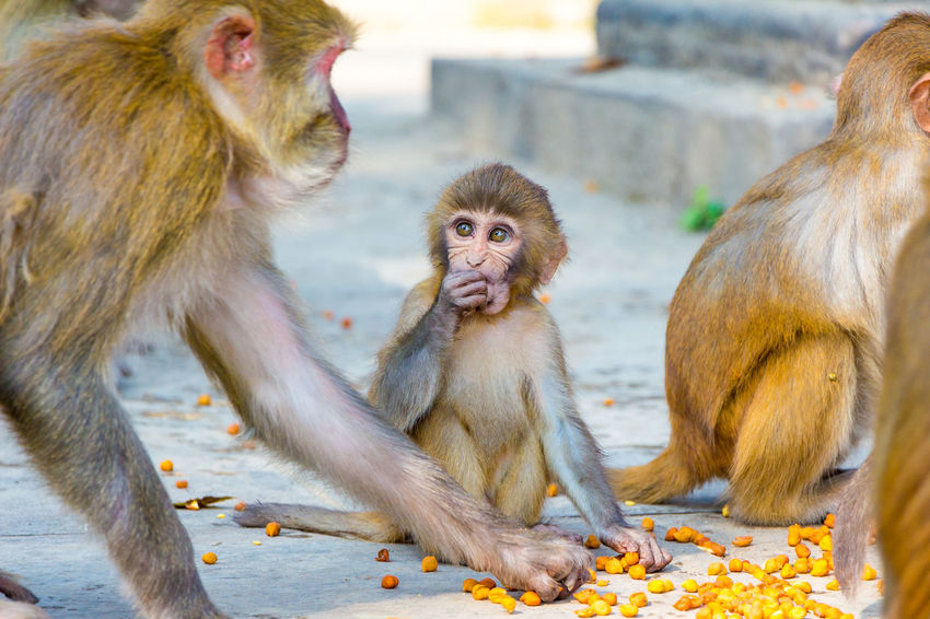 Baby Rhesus Macaque Animal Family Animal Wildlife Animals In The Wild Care Day Focus On Foreground Group Of Animals Infant Mammal Monkey Primate Togetherness Two Animals Vertebrate Young Animal