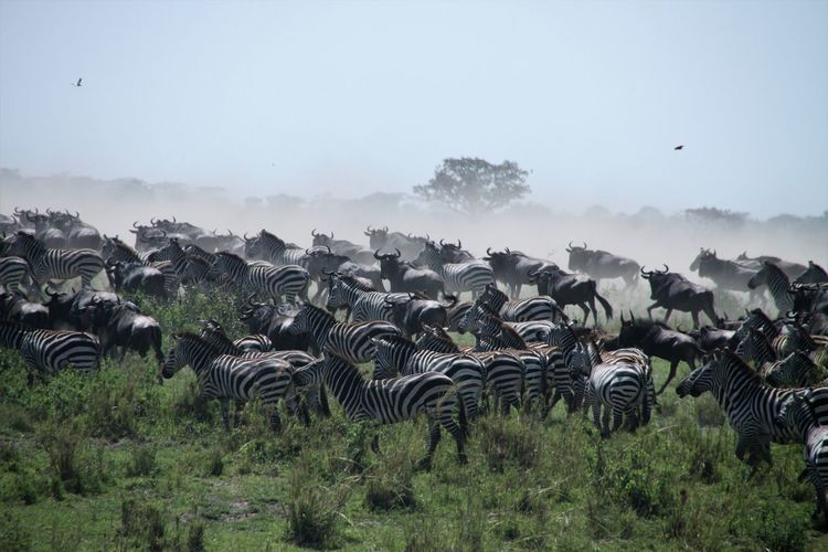 Time of great migration - the herds are moving
