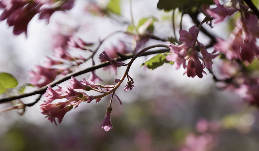 blossom Beauty In Nature Branch Close-up Day Flower Flower Head Fragility Freshness Growth Nature No People Outdoors Pink Color Plum Blossom Springtime Tree Twig