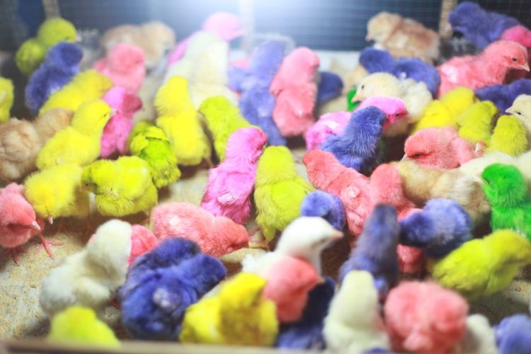 #animals #asia #Bali #chicks #green #macro #Nature  #Pink  #yellow Close-up Colorful Multi Colored No People