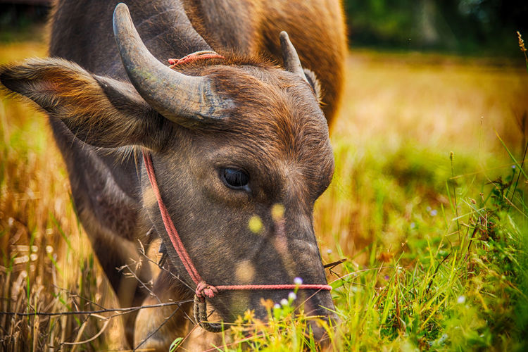 Animal Themes Buffalo Country Country Life Domestic Animals Farm Field Grass Harvest Mammal Nature Nature Outdoors Rice Field Rice Paddy Ricefield