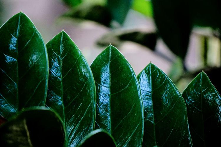 Healthy leaves - zamioculcas zamiifolia engl.