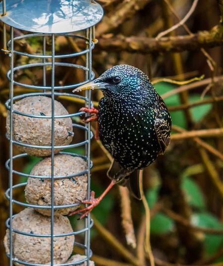 Close-up of starling perching on bird feeder