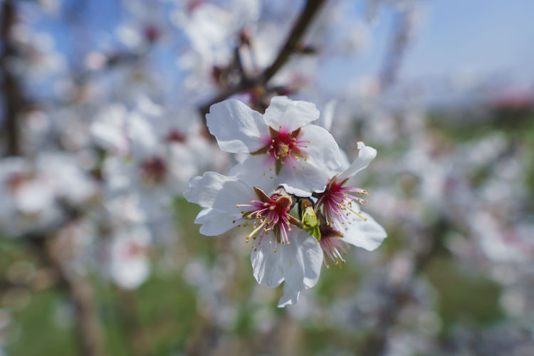 Flower Fragility Flowering Plant Freshness Vulnerability  Plant Beauty In Nature Blossom Growth Close-up Petal Nature Cherry Blossom Tree Springtime Pollen Focus On Foreground Inflorescence Day White Color Flower Head No People Outdoors Cherry Tree Spring