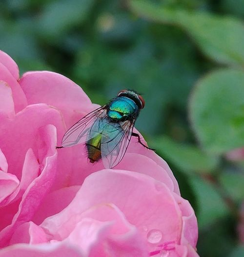 Pink Color Insect Animal Wildlife Close-up One Animal Nature Flower No People Plant Day Animal Themes Animals In The Wild Outdoors Beauty In Nature Mouche Lgg6 Manual Mode Photography Exterior Lighting Animals Posing Animals In The Wild Contrast Macro Rainbow Rainbowcolors Textured