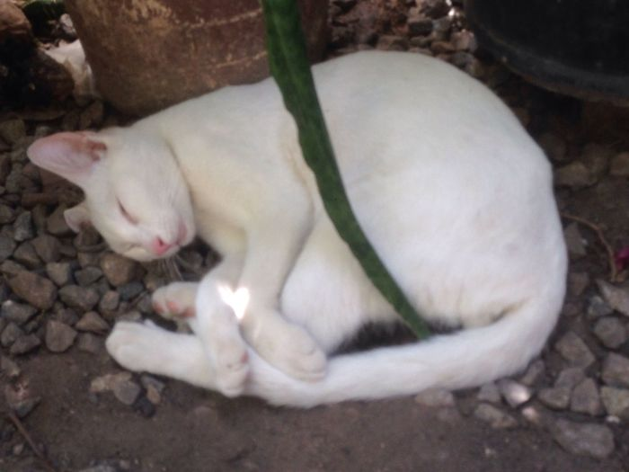 12/08/2018 - a little earlier after lunch! (anytime anywhere) MyShoots Gatobranco Cats Of EyeEm Whitecatphotography PetsdoAri Pets Cat Feline White Color Close-up