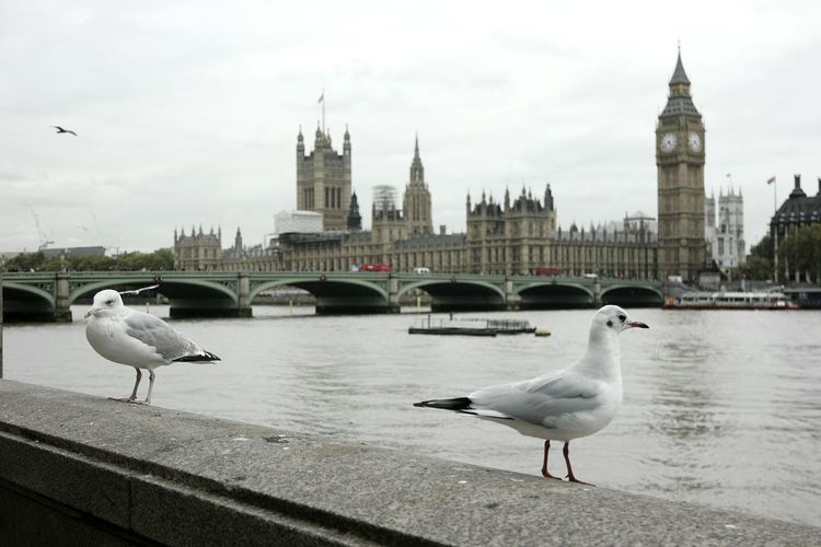 Seagulls Perching On Retaining Wall By Thames River Against Palace Of Westminster