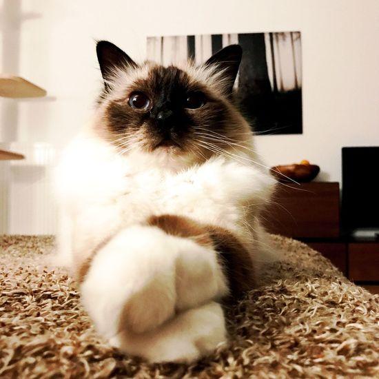 Domestic Cat Domestic Animals Pets One Animal Feline Indoors