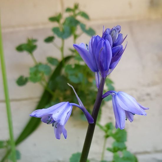 Bluebells Flower Head Flower Iris - Plant Springtime Petal Purple Blue Blossom Scented Wildflower Uncultivated