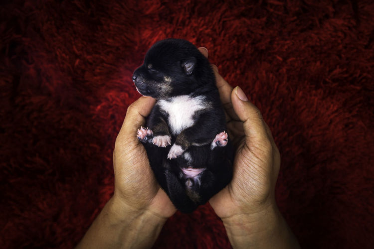 Japanese shiba inu dog. puppy on hand. dog on hands forming a heart shape on red carpet background.