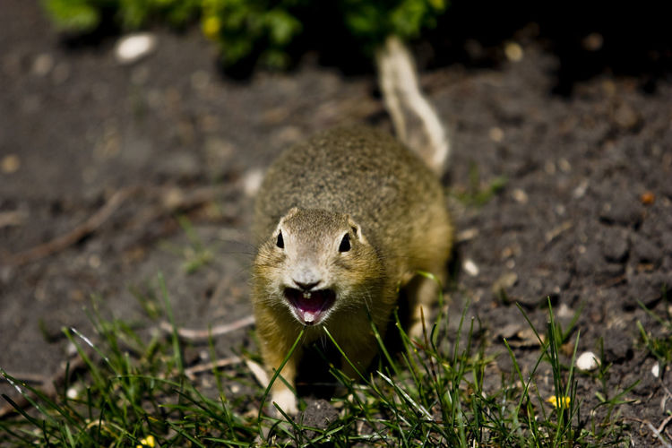 Close-Up Of Prairie Dog On Field
