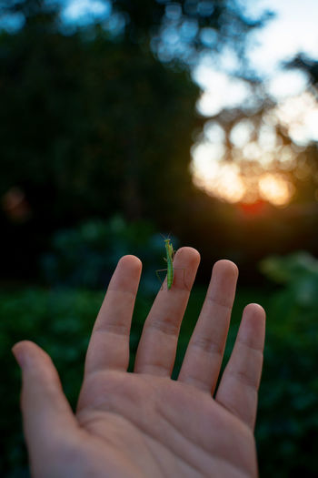 Holding a praying mantis at sunset in the garden