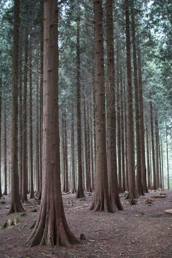Day Floor Forest Forest Floor Forest Photography Forest Trees Forestwalk Landscape Nature No People Outdoors Scenics Straight Tower Tree Tree Trunk Tree Trunk Tree_collection  Trees Trunk WoodLand WoodLand Woodland Walk Woods